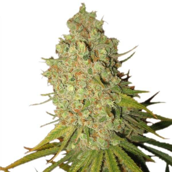 Visit the catalog of classic and feminized seeds of Royal queen seed in Mycotrop
